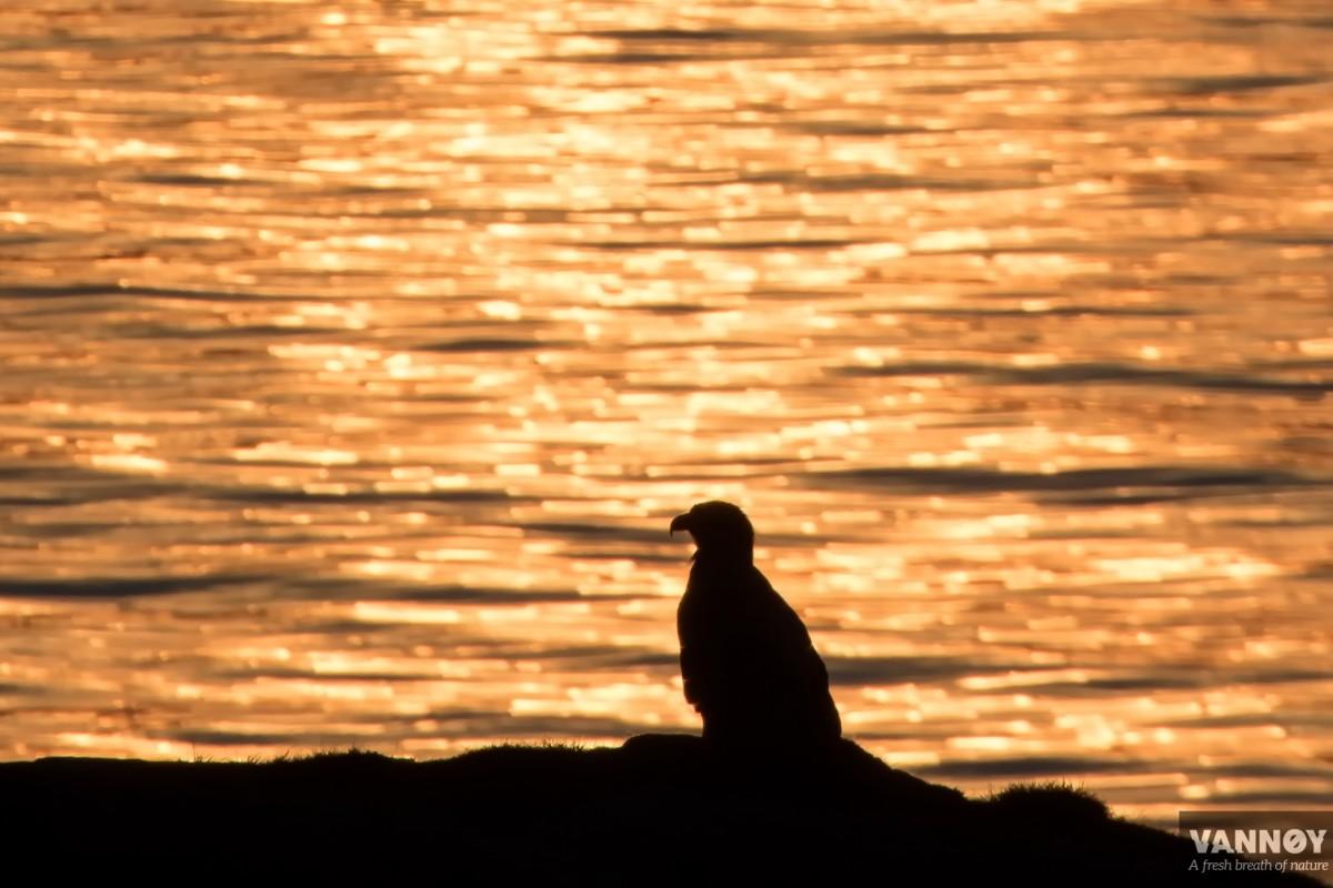 fuglesafari, birding, Vannøya, Vannoy
